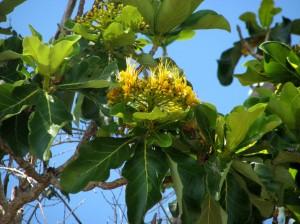 Deplanchea tetraphylla
