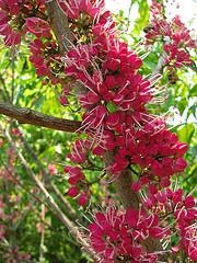 Melicope rubra