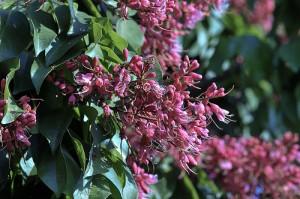 Ormosia ormondii