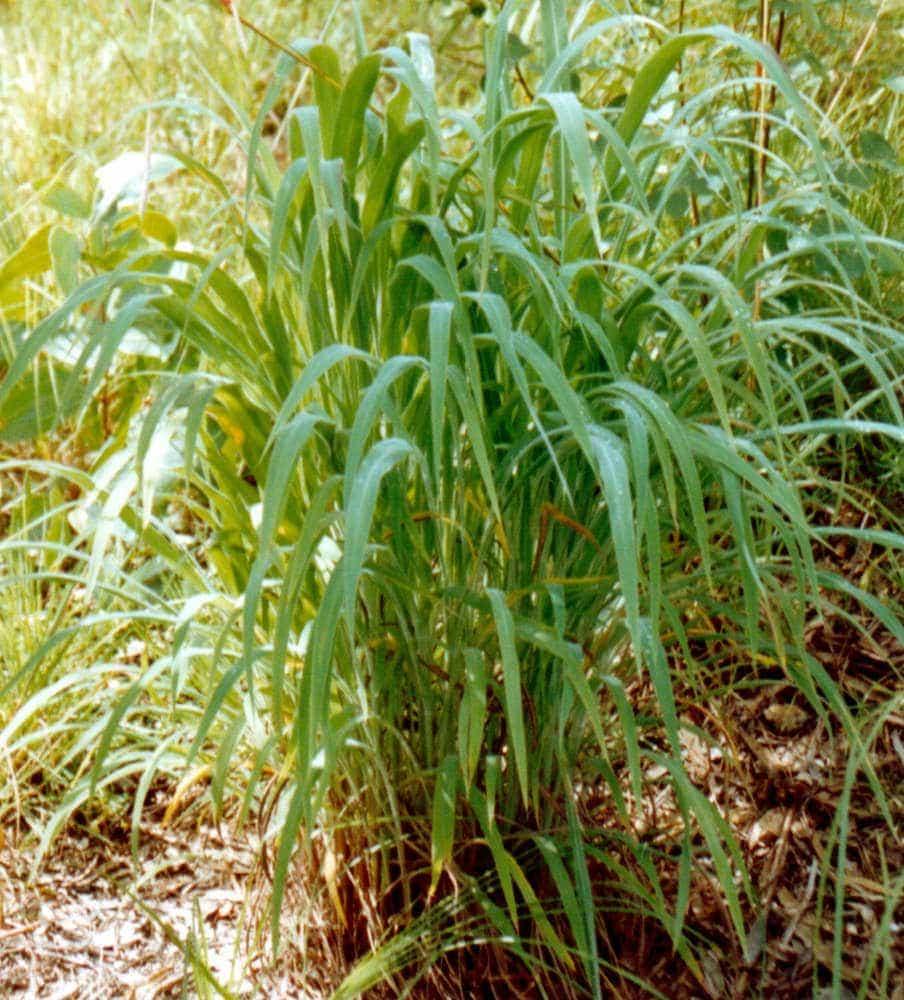 Weed detection: Gamba Grass