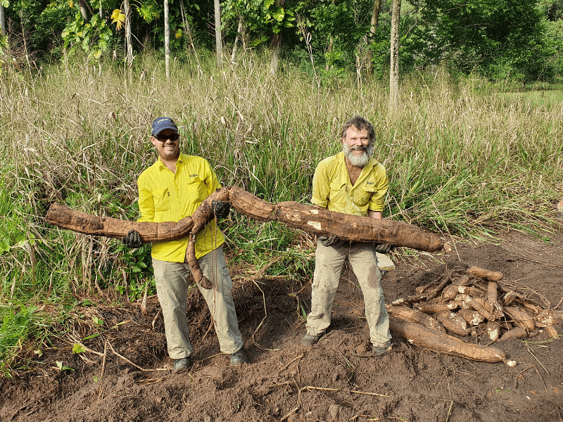 Weed crews with Thunbergia in the Whyanbeel Valley